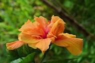 开放橙色芙蓉花高清图片