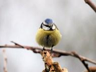 枝头上的黄色雀鸟图片下载