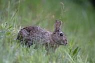 草丛里的灰色兔子图片下载