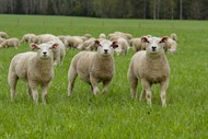 草地放牧羔羊图片素材
