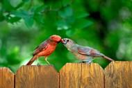 相互投食的两只小鸟图片大全