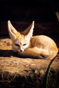 棕色狐狸卷缩在地上高清图片
