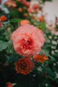 微距粉色植物花朵图片