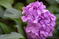 粉色绣球花团图片下载
