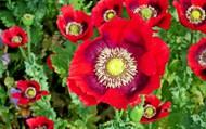 漂亮紅色罂粟花圖片大全