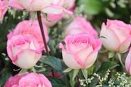 粉色玫瑰花苞图片大全