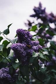 紫色植物花朵圖片素材