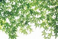 夏季綠色楓葉圖片
