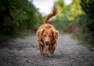 可爱金毛犬狗狗图片