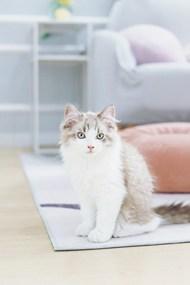 高级品种小猫图片