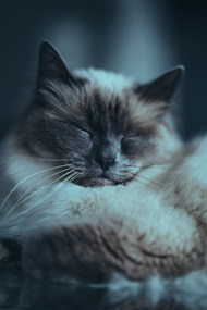 小萌猫睡觉图片素材