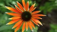 橙色金光菊圖片下載