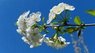 櫻花枝櫻花開放精美圖片