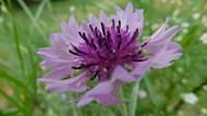 淡紫色矢車菊花朵圖片大全