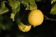 树上成熟黄柠檬图片大全