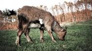 矮山羊吃草精美图片