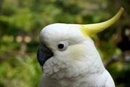 黄凤头鹦鹉高清图片
