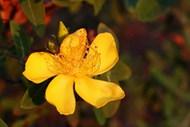 黄色连翘花朵图片大全