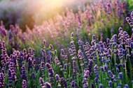 黄昏下紫色薰衣草花图片大全