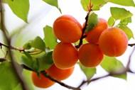 树枝上成熟杏子水果图片素材