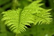 嫩绿蕨类植物写真图片素材