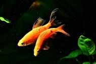 两条小金鱼精美图片