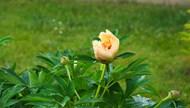 含苞待放橙色牡丹花精美图片