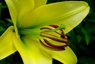 黄色牡丹花微距高清图片