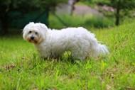 白色长卷毛宠物狗高清图片