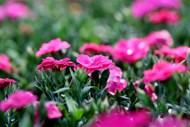 康乃馨花朵绽放图片大全
