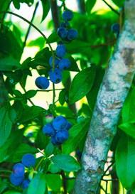 树枝上蓝莓精美图片