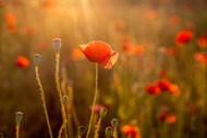 夕阳下红色罂粟花图片