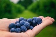手捧蓝莓高清图片