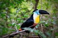 彩色巨嘴鸟图片大全
