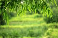 春天绿色竹叶高清图片