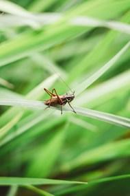 绿色草丛蟋蟀图片素材