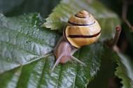 绿叶上爬行小蜗牛高清图片
