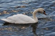 水面浮水白色大天鹅高清图片