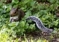 草丛里的灰色小松鼠精美图片