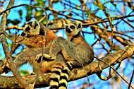 树上两只环尾狐猴图片