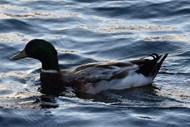 家养水鸭浮水图片下载