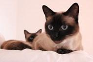 暹罗猫宠物猫图片