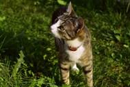 国内虎斑猫图片