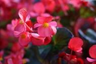 红色秋海棠花高清图片