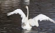 湖面白天鹅展翅精美图片