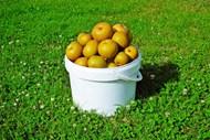 一桶秋月梨精美图片