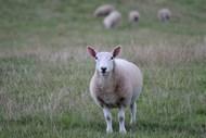 草地苏格兰羊羔高清图片