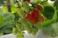 菜园小番茄高清图片