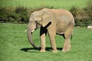 荒野草地大象高清图片