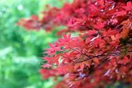 漂亮红枫叶壁纸精美图片
